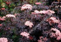 sambucus nigra 39 black lace 39 rotlaubiger schlitz holunder pflanze. Black Bedroom Furniture Sets. Home Design Ideas