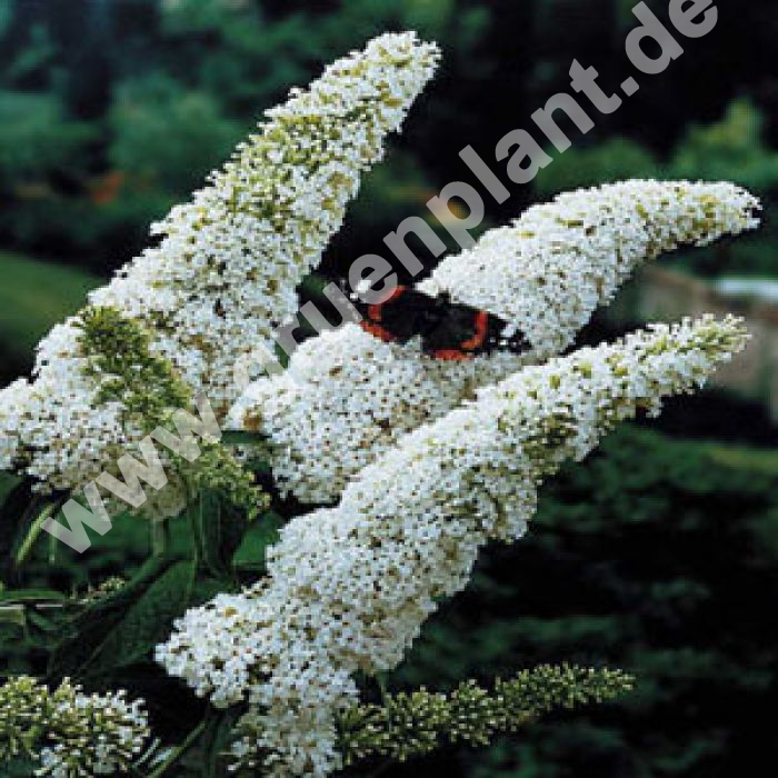 buddleja davidii 39 white profusion 39 sommerflieder pflanze. Black Bedroom Furniture Sets. Home Design Ideas