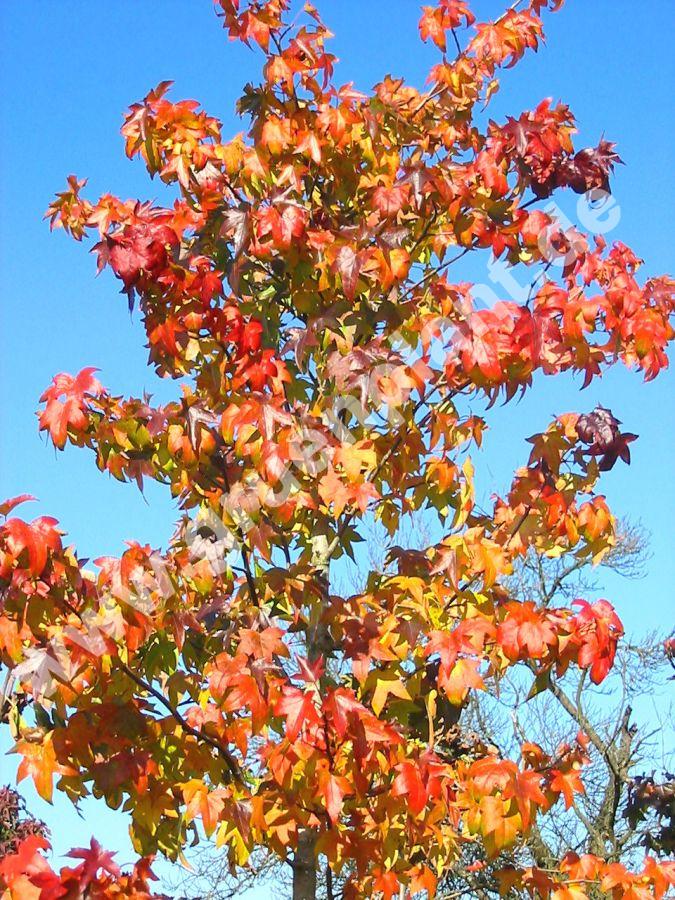 liquidambar styraciflua amerikanischer amberbaum. Black Bedroom Furniture Sets. Home Design Ideas