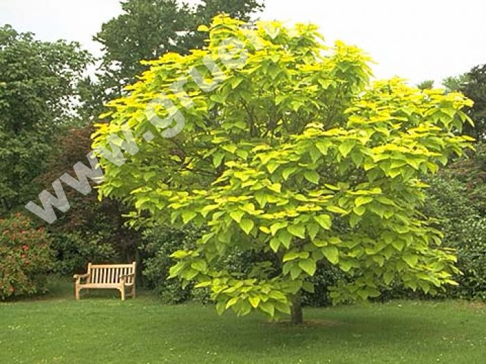 catalpa bignonioides 39 aurea 39 gold trompetenbaum www. Black Bedroom Furniture Sets. Home Design Ideas