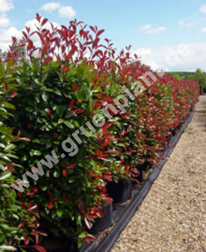 photinia fraseri 39 red robin 39 glanzmispel hecke pflanze. Black Bedroom Furniture Sets. Home Design Ideas