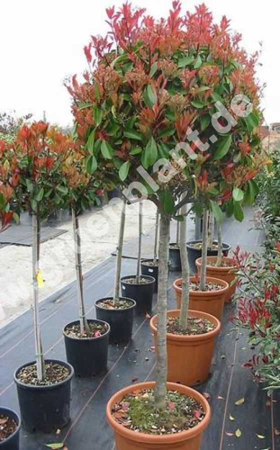 photinia fraseri 39 red robin 39 kugel glanzmispel baum. Black Bedroom Furniture Sets. Home Design Ideas
