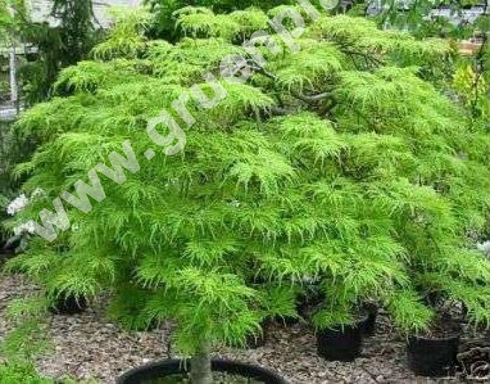 acer palmatum 39 dissectum 39 gr ner schlitz ahorn baum. Black Bedroom Furniture Sets. Home Design Ideas