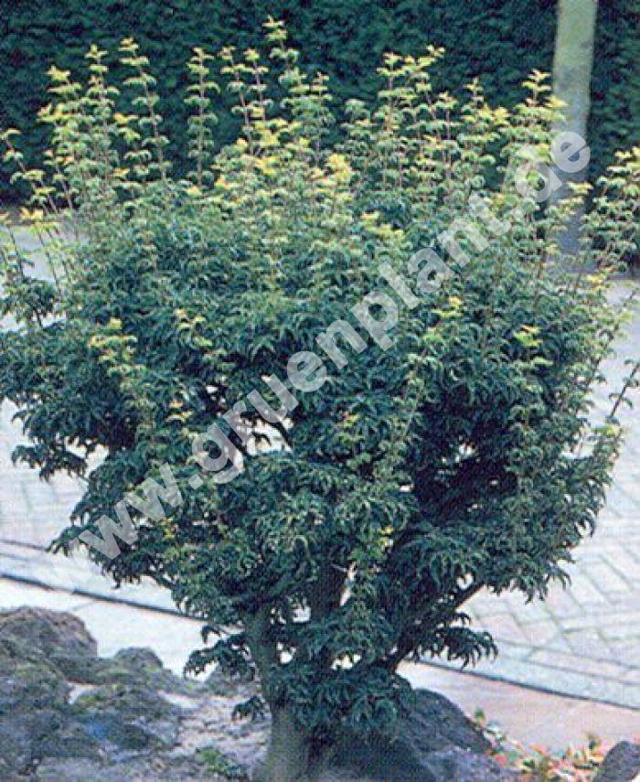 acer palmatum 39 shishigashira 39 japanischer l wenkopf. Black Bedroom Furniture Sets. Home Design Ideas