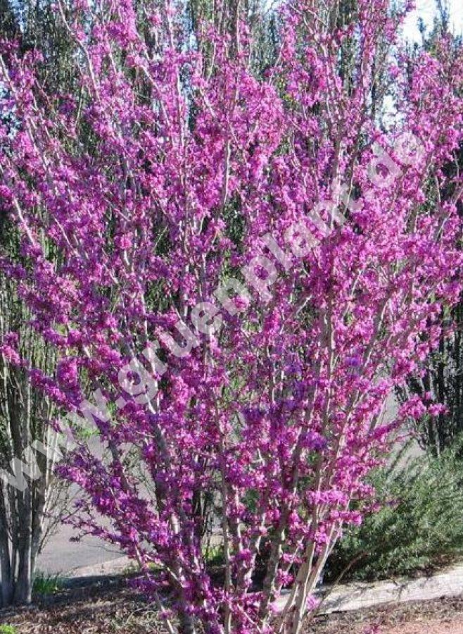 cercis chinensis 39 avondale 39 chinesischer judasbaum www. Black Bedroom Furniture Sets. Home Design Ideas
