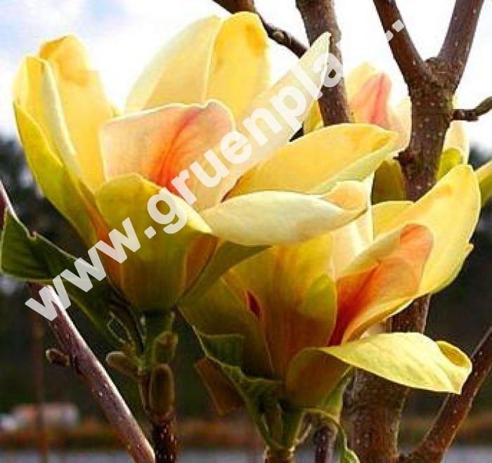 magnolia 39 sunsation 39 magnolie pflanze baum www. Black Bedroom Furniture Sets. Home Design Ideas