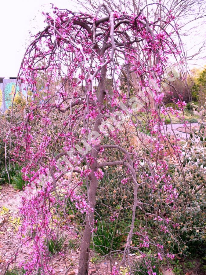 Cercis canadesis 39 lavender twist 39 h nge judasbaum www for Small to medium trees for garden