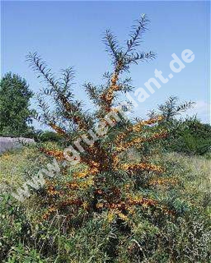 hippophae rhamnoides 39 pollmix 39 m nnliche sanddorn pflanze. Black Bedroom Furniture Sets. Home Design Ideas
