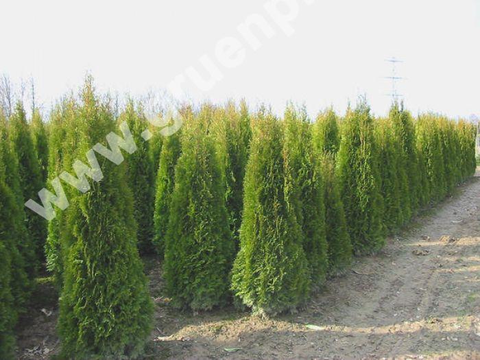 thuja occidentalis 39 smaragd 39 lebensbaum hecke pflanze. Black Bedroom Furniture Sets. Home Design Ideas