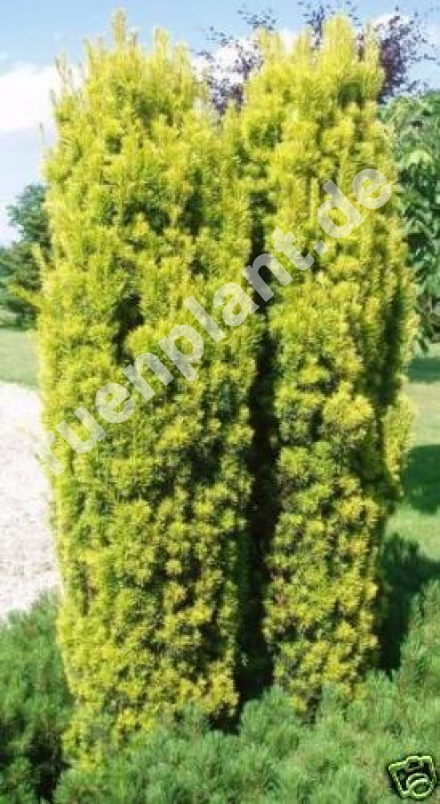 taxus baccata fastigiata 39 aurea 39 gelbe s ulen eibe. Black Bedroom Furniture Sets. Home Design Ideas