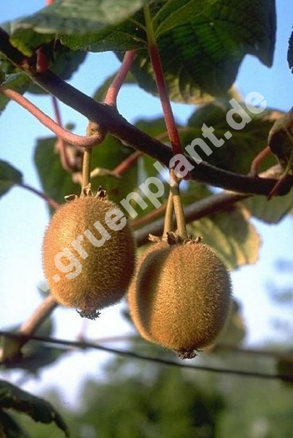 actinidia chinensis 39 jenny 39 kiwi chinesische stachelbeere pflanze. Black Bedroom Furniture Sets. Home Design Ideas