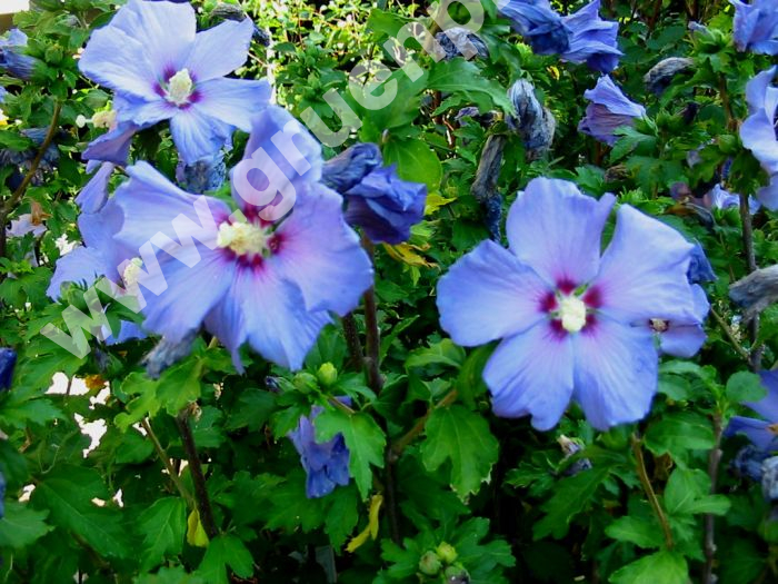 hibiscus syriacus 39 blue bird 39 garten strauch eibisch pflanze. Black Bedroom Furniture Sets. Home Design Ideas