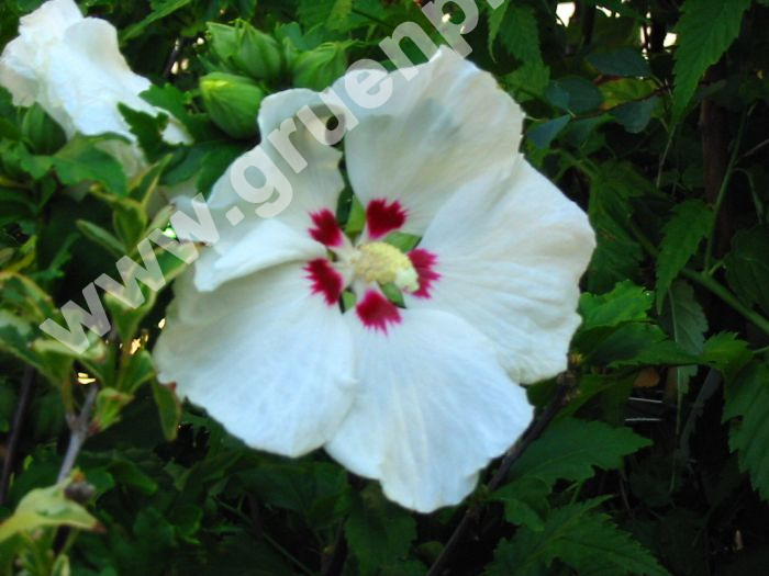 hibiscus syriacus 39 red heart 39 garten strauch eibisch. Black Bedroom Furniture Sets. Home Design Ideas