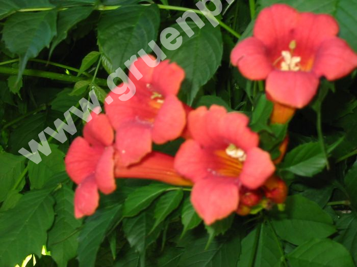 campsis radicans rote trompetenblume pflanze. Black Bedroom Furniture Sets. Home Design Ideas