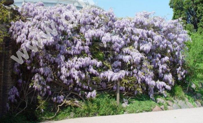wisteria sinensis 39 prolific 39 chinesischer blauregen pflanze. Black Bedroom Furniture Sets. Home Design Ideas