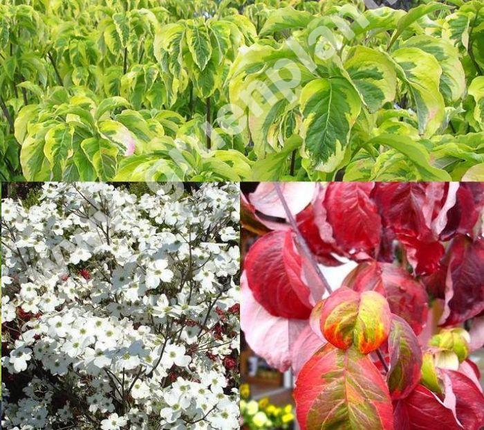 Cornus Florida Rainbow Amerikanischer Blumen Hartriegel Pflanze