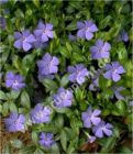 Vinca minor - Blaues Immergrün Pflanze