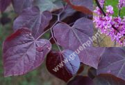 Cercis canadensis 'Forest Pansy' - Roter Judasbaum