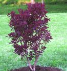 Cotinus coggygria 'Royal Purple' - Roter Perückenstrauch Pflanze