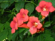 Campsis radicans - Rote Trompetenblume Pflanze